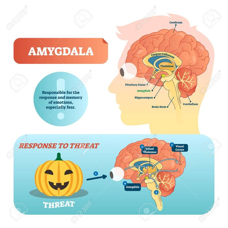 Amygdala medical labeled vector illustration. Anatomical ...