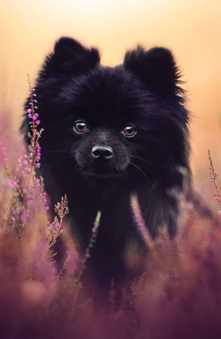 Black Pomeranian Black Pomeranian Puppies Black Pomeranian
