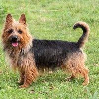 #dogalize Razas de Perros: Terrier Australiano características y cuidados #dogs #cats #pets