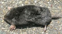 Eastern Mole - Scalopus aquaticus  While the Eastern mole may cause damage to lawns and gardens, they also aerate the soil and eat unwanted insects. #wildohio #ohiomammals