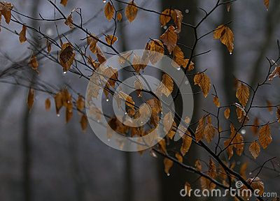 Mystical autumn forest, branches with orange leaves on cold  woods background.