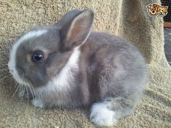 Baby Netherland Dwarf Bunny ready now. She is a blue eyed opal vienna doe. Very friendly and well handled and is 8 weeks old. Will come with change ov...