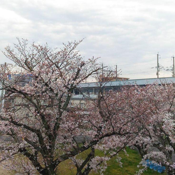 おはようございます曇り空桜もどんどん咲いてきましたでも午後から雨の予報 #cherryblossom #さくら #桜 #goodmorning #おはよう