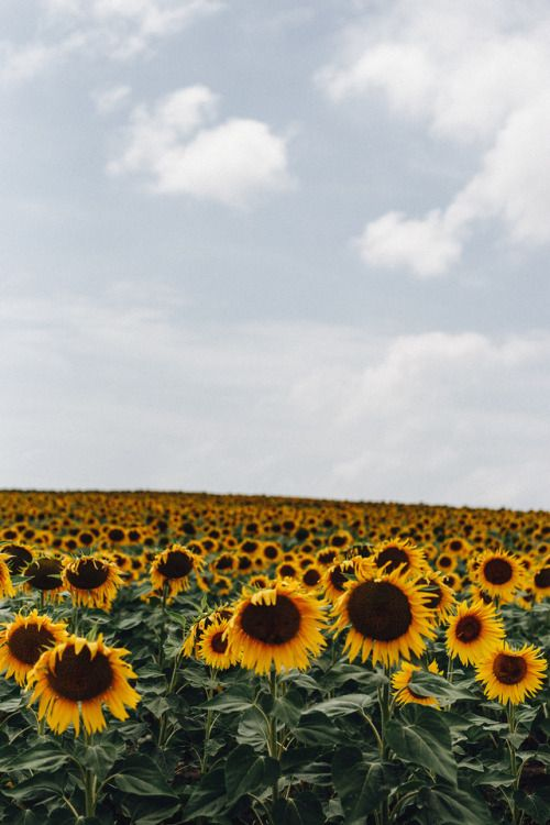 Piavalesca Sunflower Fields Forever In 2019 Sunflower