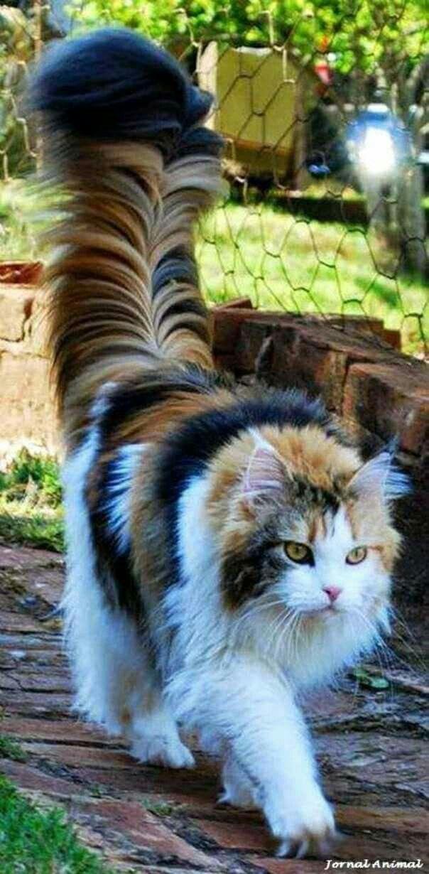 Tortoise persian cat