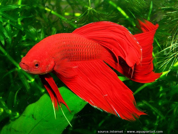Betta splendens poisson combattant du siam mon for Aquarium poisson rouge eau