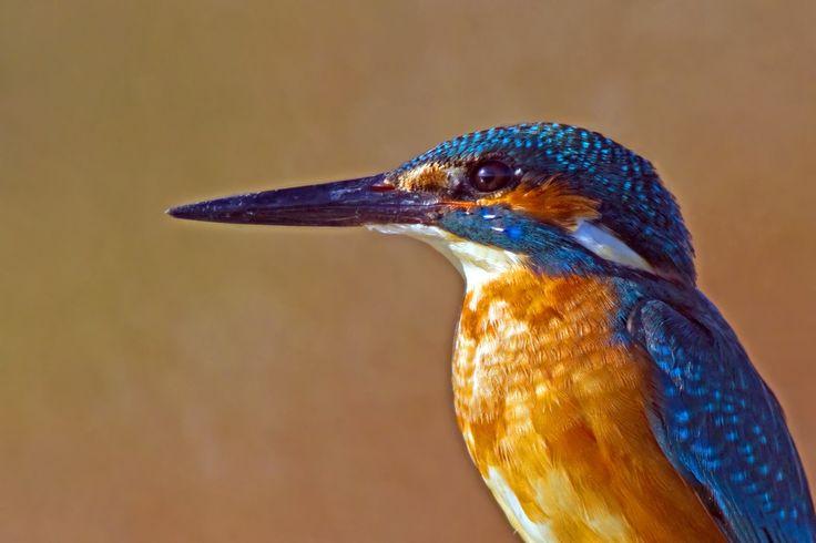 Yalıçapkını - Kingfisher