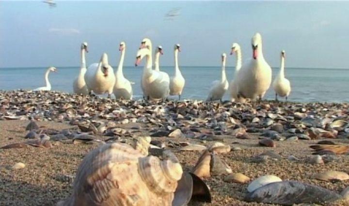 Zeci de lebede pe plaja din Eforie Sud. VIDEO
