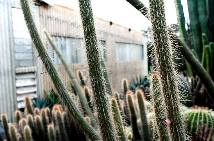 The Planthunter Issue 2: CELEBRATION. 'Celebrating Cactus'. An interview with Lester Meyers from Orana Cactus world in Gilgandra. Words and images by Georgina Reid