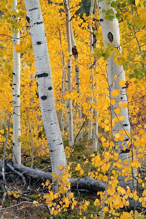 Aspen forest at Lovell Gulch north of Woodland Park Colorado