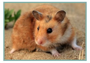 All About Syrian Hamsters   Petopedia