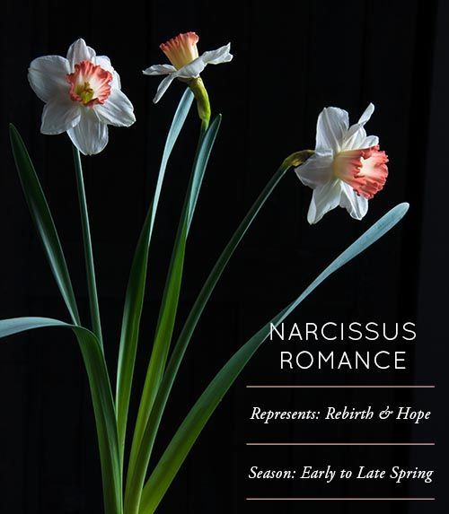 Design*Sponge Flower Glossary: Narcissus Romance. I had no idea Narcissus was another name for Daffodils