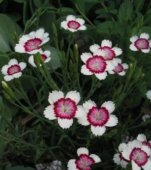 dianthus - low growing border edge plant some are very fragrant