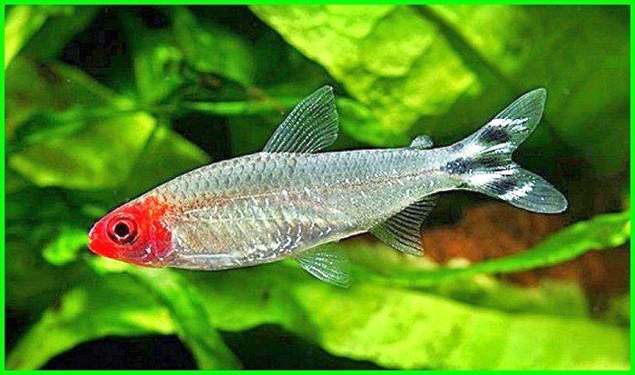 Cara Merawat Ikan Hias Rummy Nose Tetra Dunia Fauna Hewan Binatang Tumbuhan Binatang Hewan Ikan