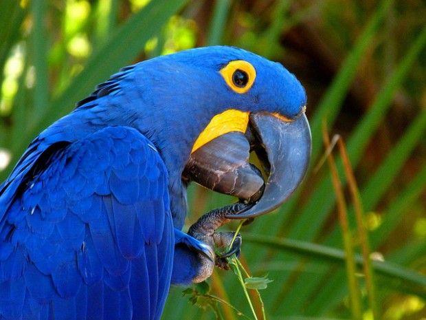 Resultado de imagen de loro azul gigante