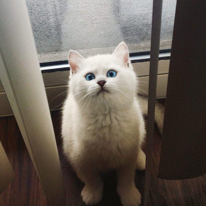 """Ojos de gato! Los ojos de gato, como los de los perros y muchos otros animales tienen una capa llamada """"tapetum lucidum"""". Una capa reflectante detrá..."""