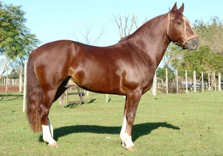 Cavalo Crioulo Guatambú da São Sebastião | Cavalos do Sul