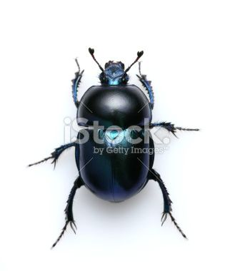 beetle Royalty Free Stock Photo