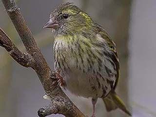 Vihervarpunen, Carduelis spinus - Linnut - LuontoPortti