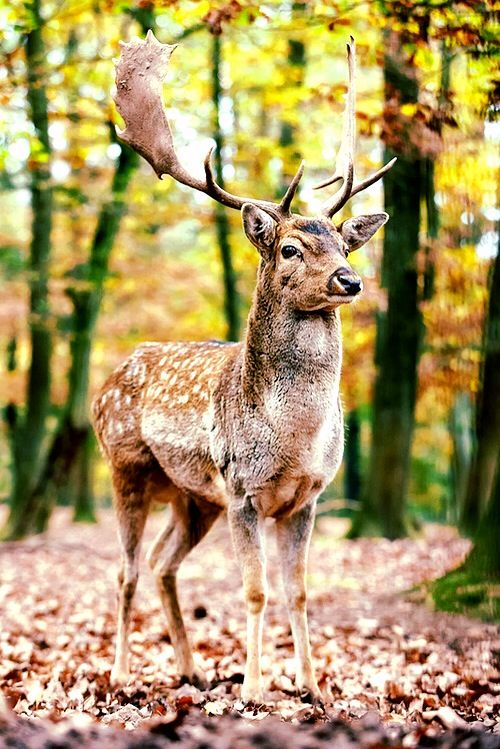 25 Best Ideas About Fallow Deer On Pinterest Deer