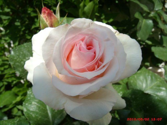 """ André LeNôtre "" also called "" Betty White "" (Meiceppus) - Hybrid tea rose - Strong, damask, musk, myrrh, rose fragrance - Alain Meilland (France), 2000"