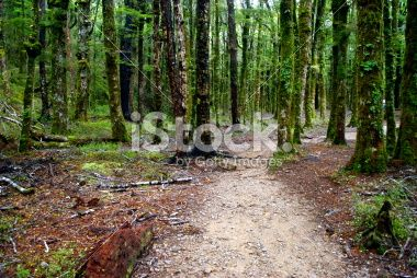 Footpath through Silver Beech (Nothofagus Menziesii), New Zealand Royalty Free Stock Photo