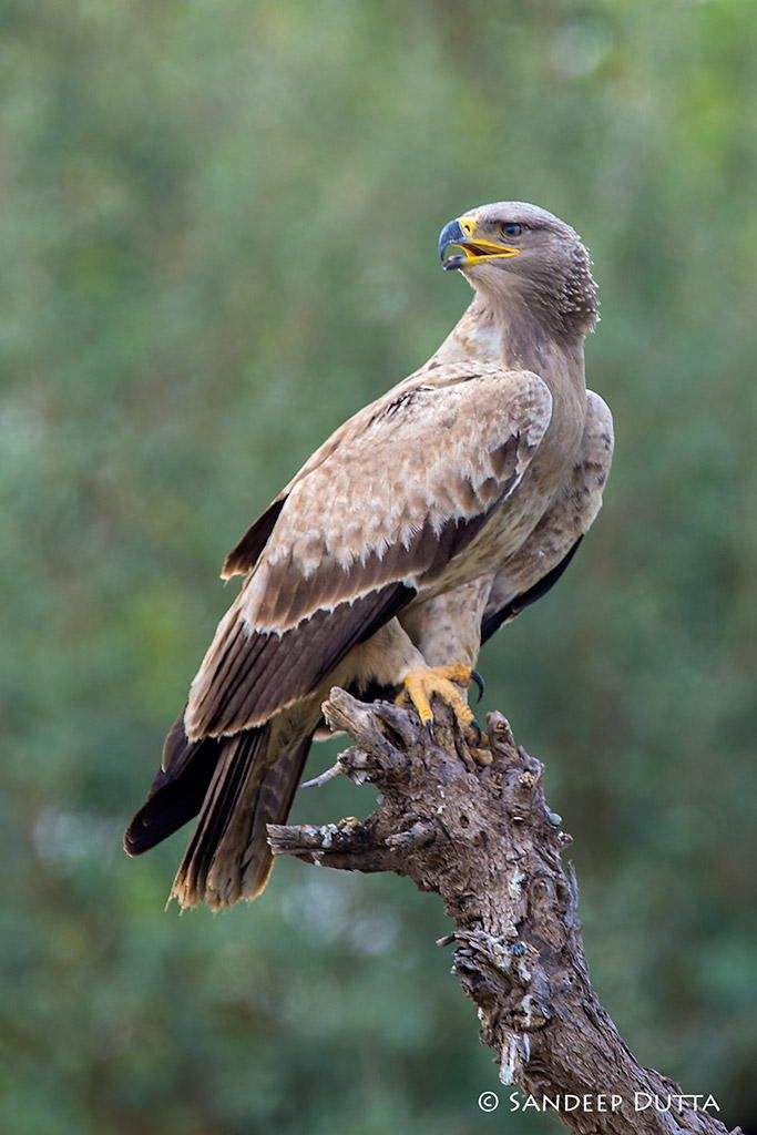 Tawny Eagle - Spend a few minutes with this beauty that morning at Tal Chapar, Rajasthan.
