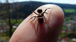 Si uno es alérgico, las picaduras de hormigas pueden traer aparejado dolor, ardor, hinchazón, picazón, y también el enrojecimiento de la piel afectada.