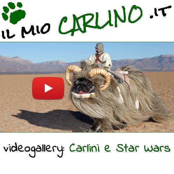 Meravigliosi filmati di Carlini alle prese con la saga di Guerre Stellari! #carlini #starwars #jedi #carnevale #cani