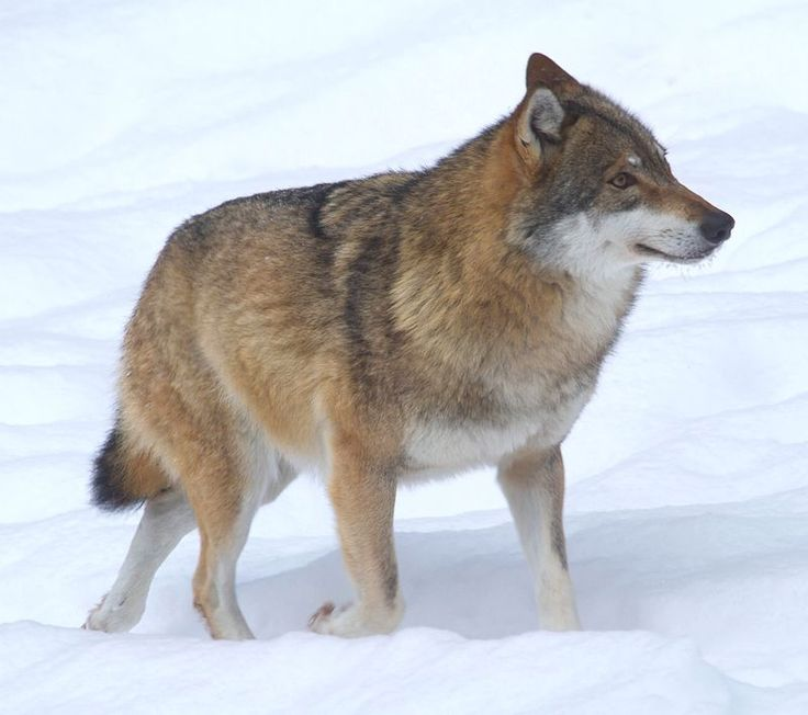 Help Gray Wolves Recover Protection Statushttp://forcechange.com/129511/help-gray-wolves-recover-protection-status/?utm_source=rss&utm_medium=rss&utm_campaign=help-gray-wolves-recover-protection-status