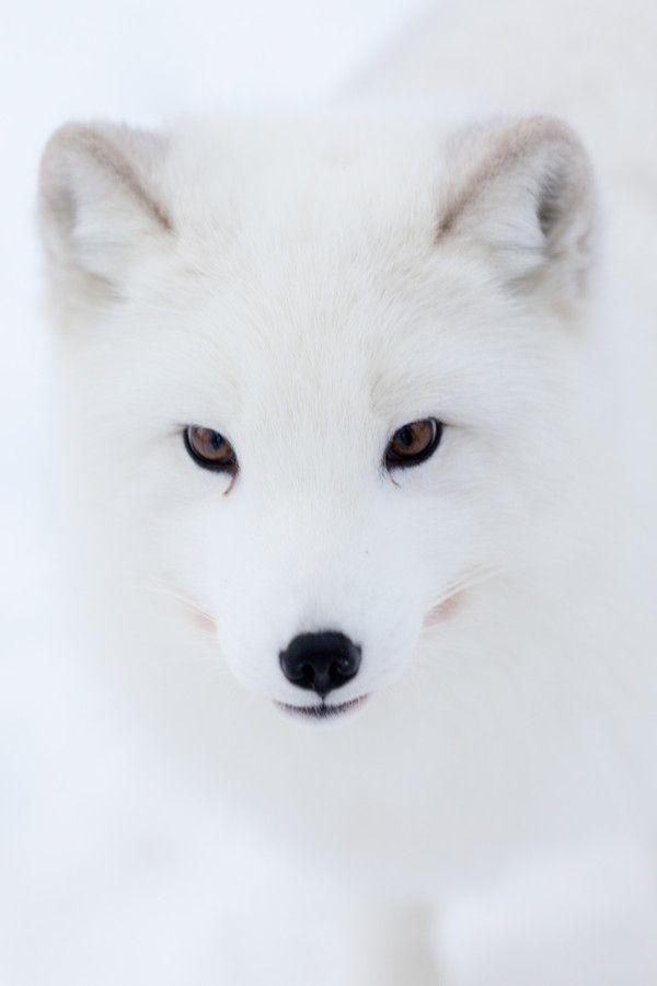 Los zorros son animales salvajes.Los zorros blancos pueden vivir en la Antartida.