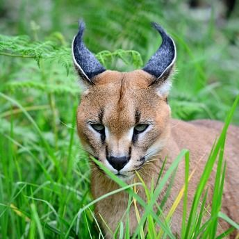 """""""A hunting caracal revealing itself, albeit briefly! Knysna wilderness.""""  Join the #MyNatureMoment movement here: bit.ly/24yVWYL"""