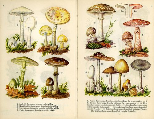 fungus amanitas, scanned from a Danish mushroom book; via scientific illustration, uploaded to flickr by fog and swell    amanitas by fog and swell on Flickr.