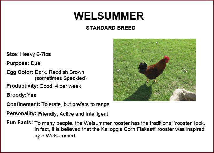 Chicken Breeds - Welsummer