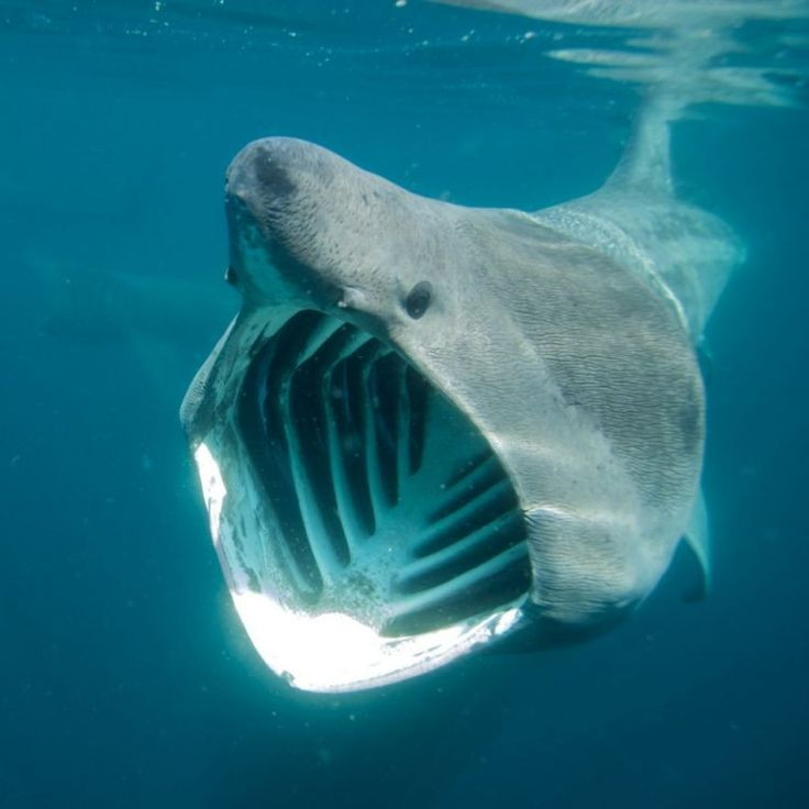 Oh dear God!  Rare picture of Basking Shark (Cetorhinus maximus) Cornwall England