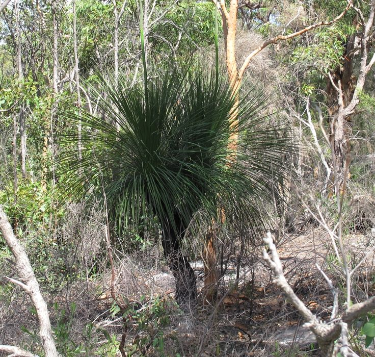 Xanthorrhoea sp., possibly arborea, alias grass tree or a less PC name that I won't use here. Habit shot of plant.
