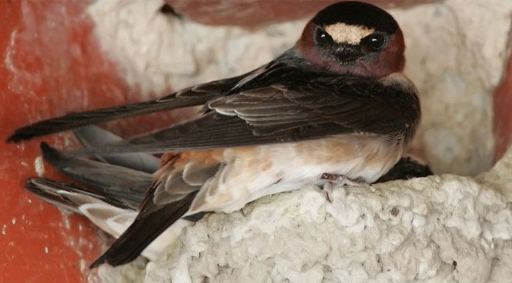 The arrival of the cliff swallows to the Mission every March 19th is world renowned. Swallows migrate 6,000 miles from Goya, Argentina to San Juan Capistrano in large groups. Some cliff swallow colonies number more than 3,500 nests. Join usRead more