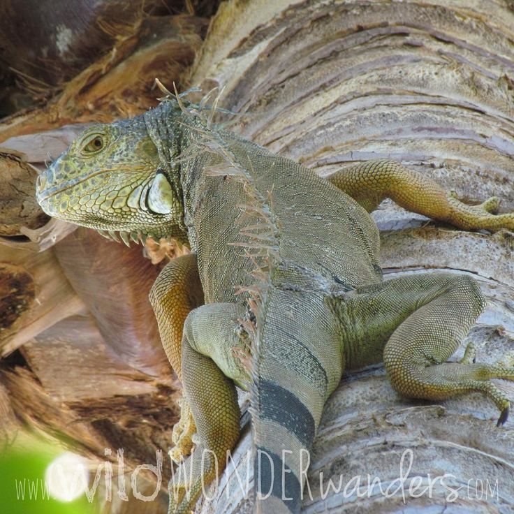 This #iguana does not seem impressed by what's going on below...