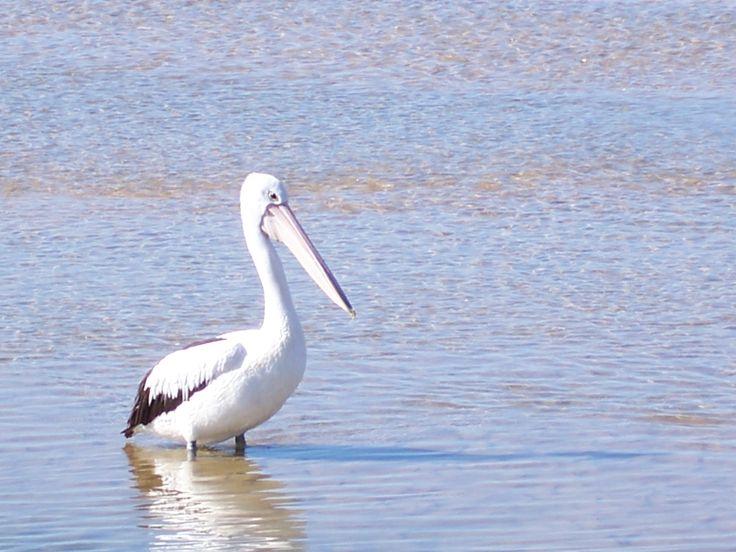 Pelican at Urunga Mid North Coast NSW