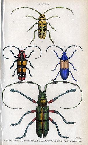 Jardine's Beetles , Plate 26