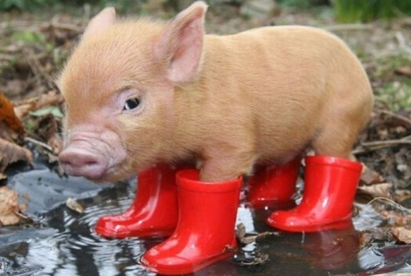piggy...in boots!: Piglets, Little Pigs, Red Boots, Rain Boots, Teacup Pigs, Pet, Minis Pigs, Baby Pigs, Piggy