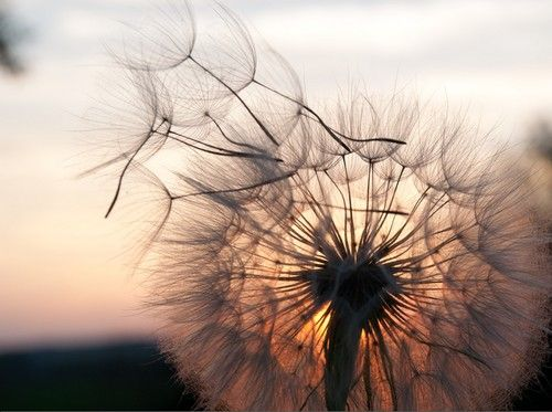 *dandelion in the sun set*