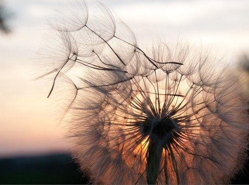 *dandelion in the sun set*
