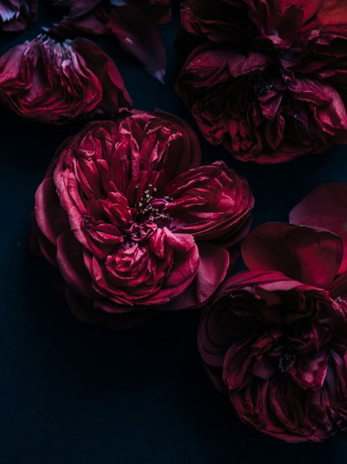 Deep rich red old fashioned rose. Aiala Hernando