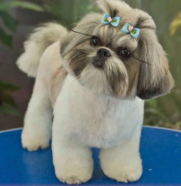 shih tzu puppy hair styles groom well taken care of tzu it 9446