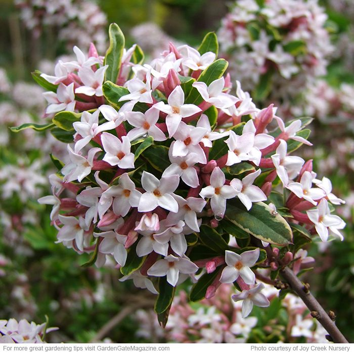 17 Best Images About Daphne On Pinterest Gardens White