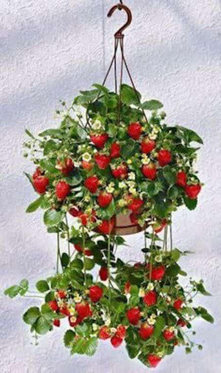 fraise qui pousse en pot