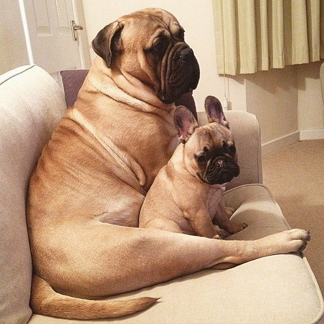 French Bulldog Puppy and Mastiff are best friends