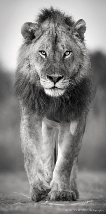un lion by Patrick Bentley :)