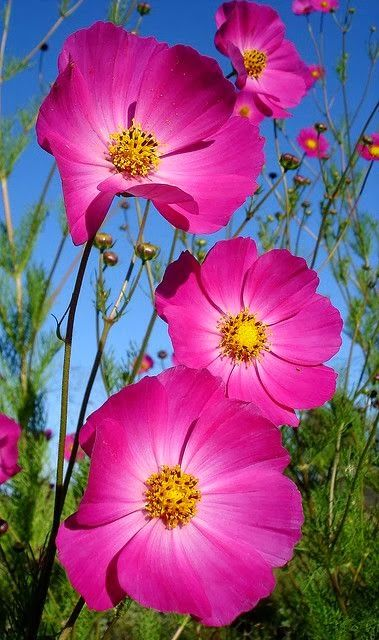 Cosmos are so pretty and so easy to grow. They take off quickly and really brighten up a garden